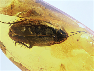 A cockroach (known to almost everyone) that is trapped in Baltic amber can be very expensive