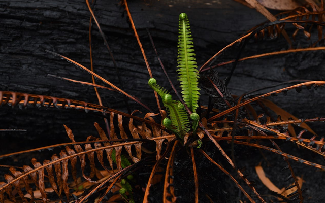 We can be the ashes, or be the phoenix. New life resurfaces from the scorched earth in Blackheath woods.Source: Getty Images