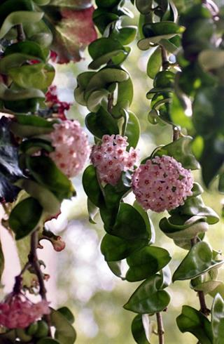 A shot of a healthy Hindu rope plant, Source: Wikimedia Commons