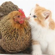Chicken or the egg... or the cat?